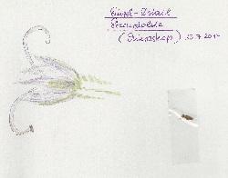 Sterndolde-Blütendetail
