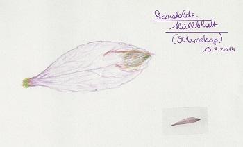 Sterndolde-Hüllblatt