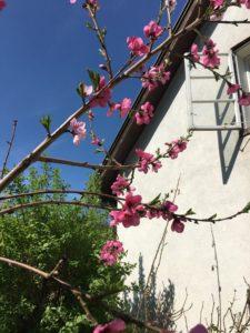 Der alte Pfirsichbaum blüht wieder!